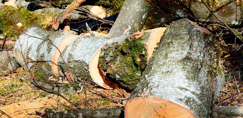 Березовые дрова в пеньках